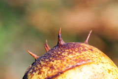 Spiny chestnut, details Royalty Free Stock Photography