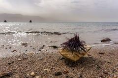 Spiny denni czesacy na skale przy czerwonym dennym brzeg Obraz Royalty Free