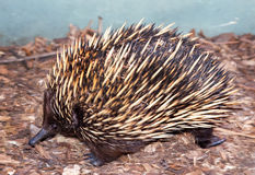 Spiny echidna. An echnidna like a small porcupine very cute and they waddle when walking Stock Photo