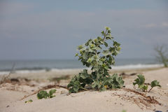 Spiny flower. The spiny flower on beach Royalty Free Stock Image