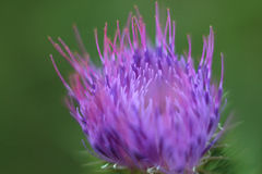 Spiny flower of burdock on beautiful green meadow. Blur effect Stock Image