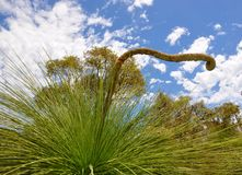 Spiny Grass Trees Detail: Australian Bushland Stock Photo