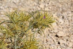 Spiny green plant. Grows in rocky desert stock photography