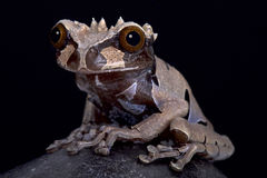 Spiny-headed tree frog, Anotheca spinosa. The spiny-headed tree frog, Anotheca spinosa, is a bizar looking tree frog species found in the tropical forests of Royalty Free Stock Photography