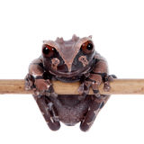 The spiny-headed tree frog on white