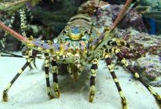 Spiny homar Zdjęcie Stock