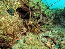 spiny hummer Arkivbilder