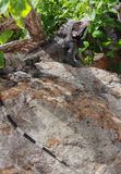 Spiny Iguana on Rock Royalty Free Stock Photo