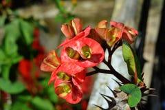 Spiny kwiaty Obrazy Royalty Free