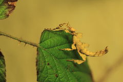 Spiny leaf insect Stock Photos