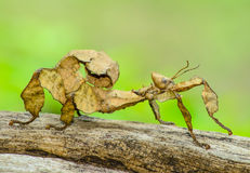 Spiny leaf insect Stock Images