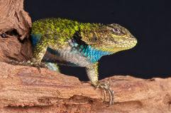 Spiny lizard Royalty Free Stock Photography