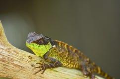 Spiny Lizard Royalty Free Stock Photos