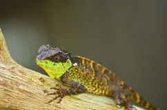 Spiny lizard. Green spiny lizard sitting on the tree Royalty Free Stock Photos