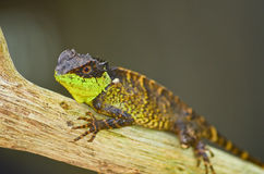 Spiny lizard Stock Photography