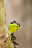 Spiny lizard Royalty Free Stock Photography