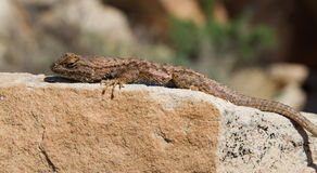 Spiny Lizard Royalty Free Stock Image
