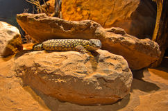 Spiny Lizzard from Australia at Schoenbrunn park Zoo in Vienna Royalty Free Stock Images