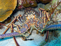 Spiny Lobster. A Caribbean Spiny Lobster.  These lobsters don't have powerful large claws and wave around their long spiny antenna to warn off anyone who takes Royalty Free Stock Photos