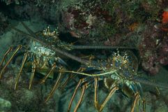 Spiny Lobster Royalty Free Stock Images