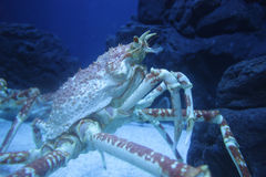 Spiny Lobster. Live Langouste on the bottom of the sea Stock Photo