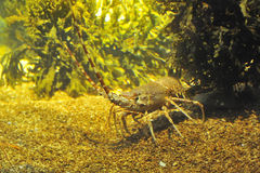 Spiny Lobster Stock Photography