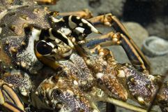 Spiny Lobster. Macro of a Spiny Lobster-Panulirus argus Royalty Free Stock Photo
