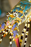 Spiny lobster close up Stock Image