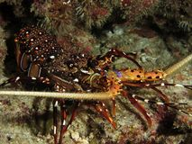 Spiny lobster. Colorful spiny lobster photograped near the Similan Islands on the west coast of Thailand royalty free stock image