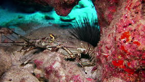 Spiny Lobster in Coral reef In search of food. stock video