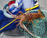 Spiny Lobster With Dive Gear Royalty Free Stock Image