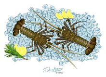 Spiny lobster on ice cubes in cartoon style. Fresh spiny lobster. Seafood product design. Inhabitant wildlife of. Spiny lobster on ice cubes in cartoon style Stock Photos