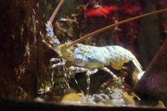 Spiny lobster. The image of the Spiny lobster in local aquarium Royalty Free Stock Photos