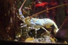 Spiny lobster Royalty Free Stock Photos