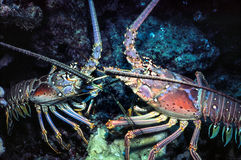 Spiny Lobster. Interaction of rocky bottom, Los Roques,Venezuela Royalty Free Stock Photos