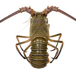 Spiny lobster - Palinuridae. Spiny lobster in front of a white background Royalty Free Stock Photos