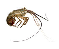 Spiny lobster - Palinuridae. Spiny lobster in front of a white background Royalty Free Stock Photography