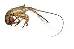 Spiny lobster - Palinuridae. Spiny lobster in front of a white background Royalty Free Stock Images