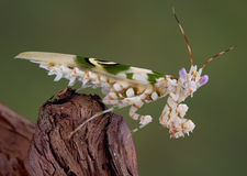 Spiny mantis 8. A spiny flower mantis is sitting on a branch Stock Photos