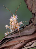 Spiny mantis on vine. A spiny flower mantis is sitting on a vine Stock Image