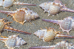 Spiny marine seashells Royalty Free Stock Photography