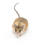 Spiny mouse Stock Photography