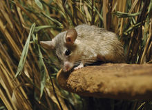 Spiny mouse. Turkish spiny mouse in czech zoo Stock Photo