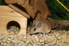 Spiny mouse Stock Images