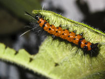 Spiny orange caterpillar Royalty Free Stock Photography
