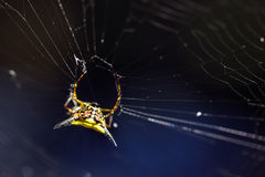 Spiny orb spider Royalty Free Stock Images