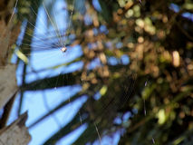 Spiny Orb-weaver Spider Weaving a Web. Spiny Orb-weaver spider weaving web attached to a Cabbage Palm Tree in Florida Stock Images