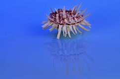 Spiny Oyster Shell Royalty Free Stock Photos