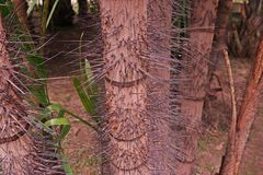 Spiny palm trunk Royalty Free Stock Photo