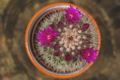 Spiny pincushion cactus flowering. Close up Royalty Free Stock Image
